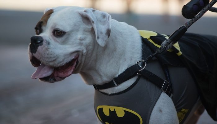 dog batman costume